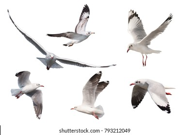 Set of seagulls flying isolated on white background