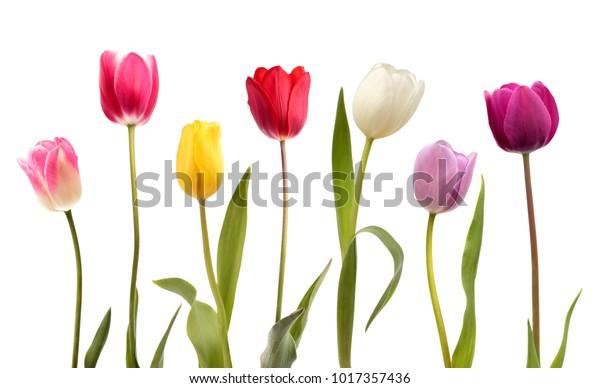 Набор из семи различных цветов тюльпанов, изолированных на белом фоне