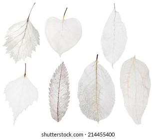 set of seven light leaf skeleton isolated on white background