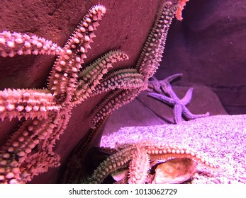Set of several starfish attached to a rock inside a saltwater aquarium