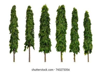 Set of six Polyalthia longifolia trees on white background (The Mast Tree, India Ashok), Ornamental garden plant