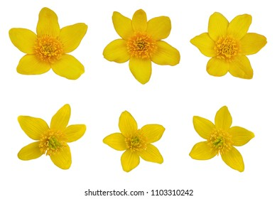 Set of six Yellow Caltha Palustis wildflower heads isolated on white background