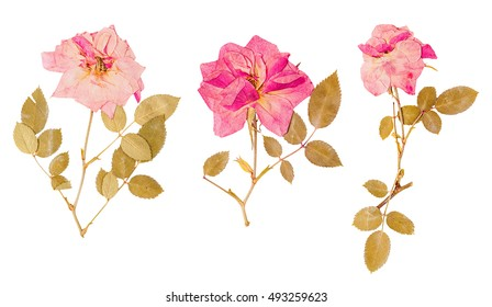 Set of small herbarium of dried pressed pink roses isolated