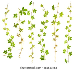 set of sprigs of wild grape with green leaves on a white background