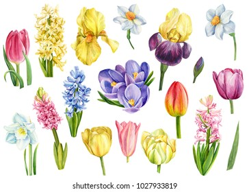 Set of spring flowers, hyacinths, tulips, crocuses, irises and nartssysy, watercolor illustration, hand drawing, botanical painting