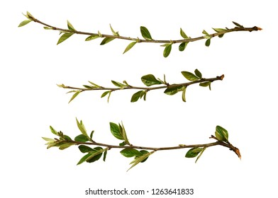 Set of spring fresh twigs with green buds and leaves isolated on white