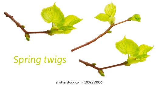 Set of spring linden tree branches photos isolated on white. Spring Easter twigs. Blooming linden tree. Lime branches with young foliage, buds