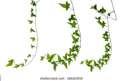 Set of straight green ivy (Hedera) stem isolated on white background. Creeper Ivy stem with young green leaves.
