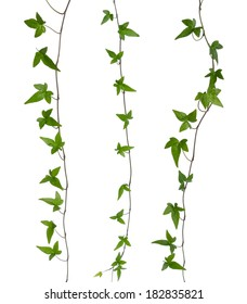 Set of straight ivy stems isolated. Green ivy (Hedera) stem isolated on white background. Creeper Ivy stem with young green leaves.