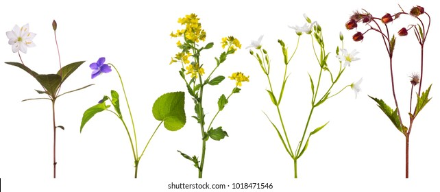set of studio isolated small wild flowers