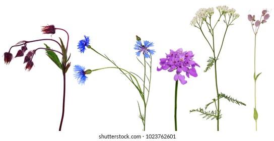 set of studio isolated small wild flowers