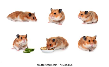 A set of syrian hamster sitting and eating isolated on white background