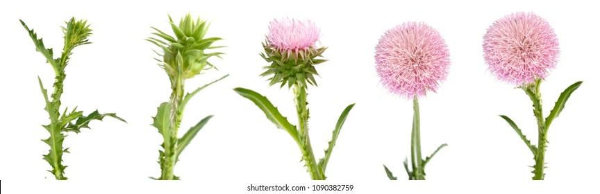 set of thistle flower open isolate