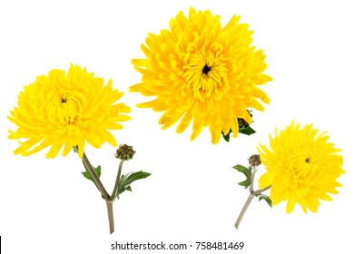 Set of three bright yellow chrysanthemums isolated on white bachground. One flower with bud shot at different angles, includung top view.