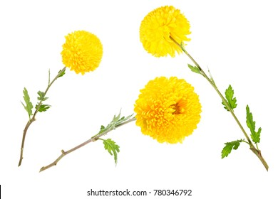 Set of three bright yellow chrysanthemums isolated on white bachground at different angles, includung back view. Large flower head on a green stem with leaves.