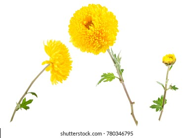 Set of three bright yellow chrysanthemums isolated on white background.  Flowers shot at different angles, twig with a bud. Side view.