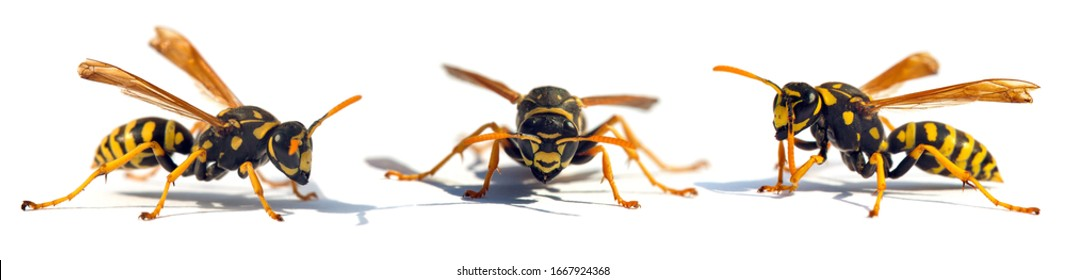 Set of  three European wasp German wasp or German yellow jacket isolated on white background in latin Vespula germanica