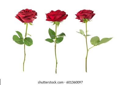 Set of three luxurious dark-red roses on a long stem with green leaves isolated on white background, side view