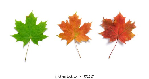 Set of three maple autumn leaves isolated on white background with light shadow