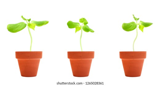 A set of three organic cucumber seeds germination. Green cucumber sprouts in clay ceramic unpainted pots ready for seedling. Spring background. Isolated on white