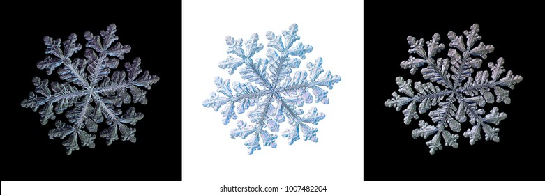 Set with three variants of snowflake, isolated on black and white backgrounds. Macro photo of real snow crystal with glossy relief surface, complex structure, elegant shape and long ornate arms.