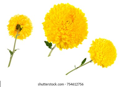 Set of three yellow chrysanthemums isolated on white bachground at different angles, includung back view. Large flower head on a green stem.