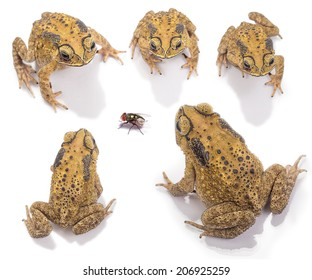 Set of Top view of Golden color skin and orange neck toad, fly  on White background and isolated. Toads are associated with drier skin and more terrestrial habitats than animals commonly called frogs