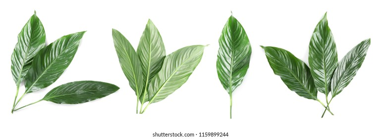 Set with tropical Spathiphyllum leaves on white background