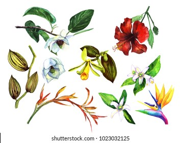 Set with tropical watercolor flowers. Magnolia, vanilla, orchid, sterlet, hibiscus, neroli isolated on white background