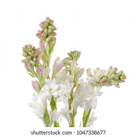 Set of Tuberose or Rajnigandha of Southeast Asia-white background