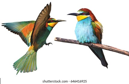 set of two exotic birds flying another one sitting on a white background.wild bird