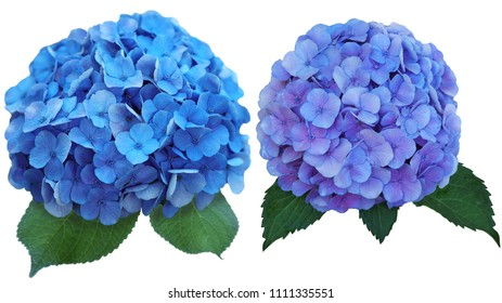 Set of two Hydrangea Flower at blue color affected by strongly acid soil pH