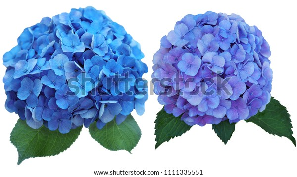 Set Two Hydrangea Flower Blue Color Stock Photo Edit Now 1111335551