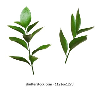 Set of two twigs of ruscus isolated on whit. Green leaves.