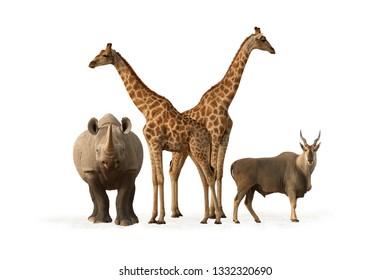 Set of typical animals from Etosha national park. Common Eland, black rhinoceros and two angolan giraffes isolated on white background. Wildlife photography, Namibia.