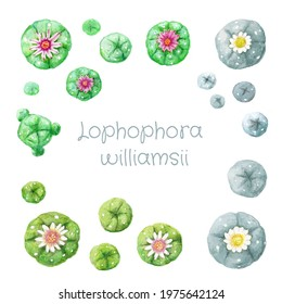 Set of various colored flowering watercolor hand drawing peyote Lophophora williamsii cactus on white background