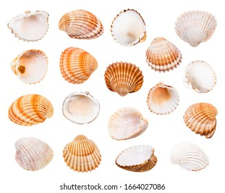 set of various shells of cockles isolated on white background
