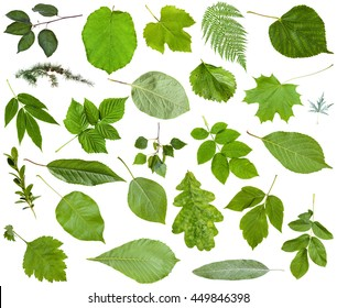 set of varuious green leaves isolated on white - apple, fern, hazel, larch, oak, birch, dog-rose, quince, buxus, strawberry, grape, cherry, raspberry, rubus, poplus, maple, acer, lime, ash, etc