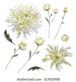 Set of vintage watercolor chrysanthemums leaves branches flowers bud, watercolor illustration isolated on white background