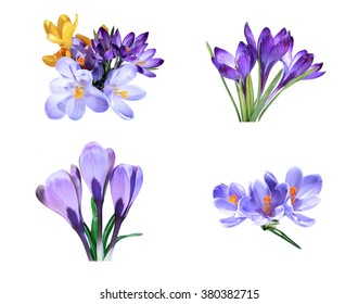 Set of  Violet and yellow flowers of crocus isolated