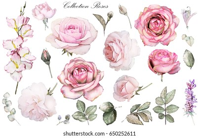 Set watercolor elements of rose, collection garden and wild flowers, leaves, branches, Floral illustration isolated on white background, eucalyptus, bud, flower rose