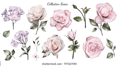 Set watercolor elements of roses, collection garden pink flowers, leaves, branches, Botanic  illustration isolated on white background.  bud of flowers
