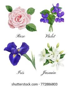 Set of watercolor illustrations of floral perfume notes: violet, rose, iris, jasmin