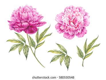 Set of watercolor pink peonies. Branch of pink peonies isolated for design