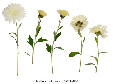 Set of white aster flowers isolated on white