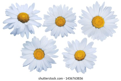 Set of white daisies isolated on white background.