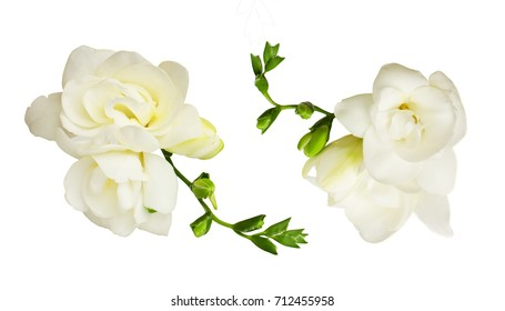 Set of white freesia flowers isolated on white background. Top view.