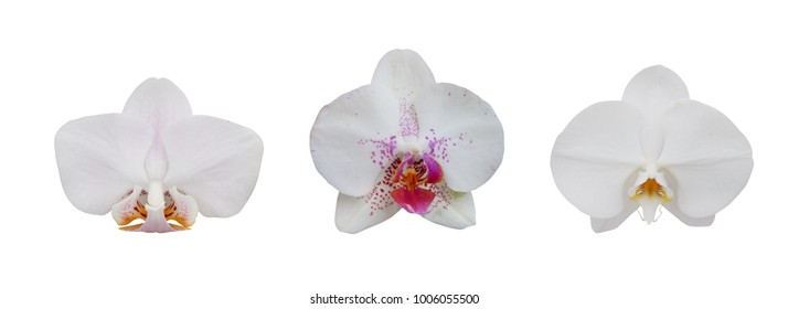 set of white orchid flower isolated on white background