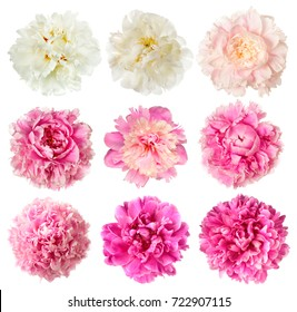 Set of white and pink peony flowers isolated on white background