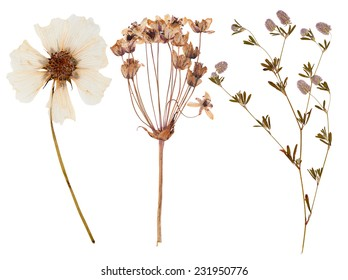 Set of wild dry flowers pressed, isolated